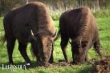 bisons-11-3535