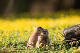 branfere-chien-de-prairie-c-m-gross-1622