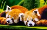 branfere-panda-roux-c-branfere-1621