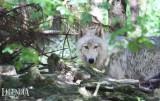 loups-canada-mai-2020-30-5536
