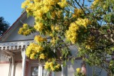 Saint-Brevin-mimosas