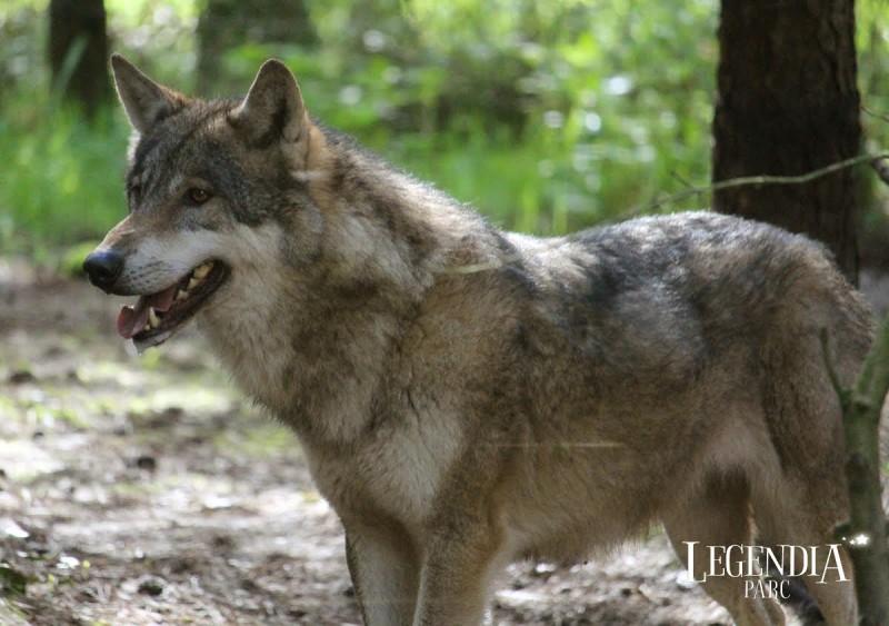 loup-legendia-parc-3089