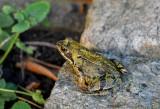 frog-3726520-960-720-13512