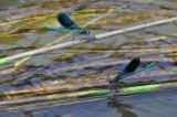 libellules-13244