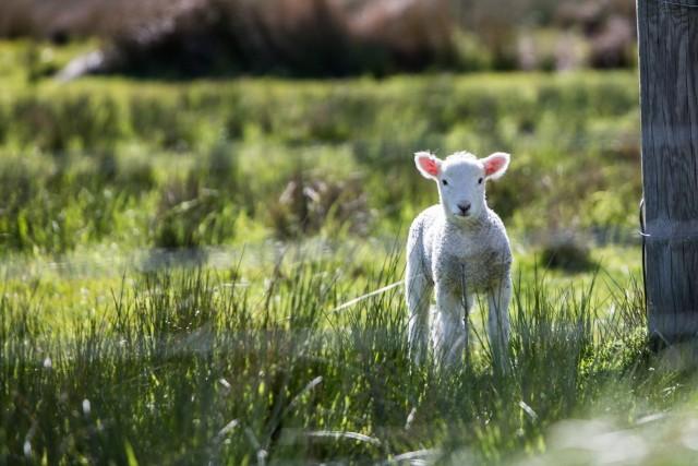 mouton-11093