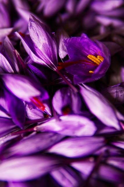 safran-fleur-11957
