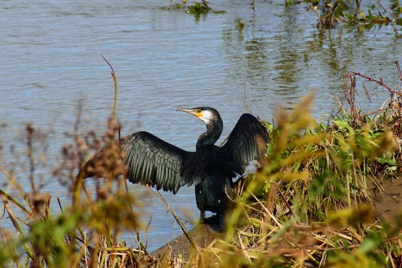 cormoran-masserau-frossay-saint-brevin-1483