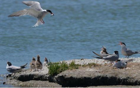 oiseaux-de-l-estuaire-8959